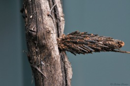 Cocoon of a Saunders' Case Moths, Large Bagworm - Metura elongatus (Oiketicus elongatus)