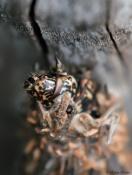 Saunders' Case Moths, Large Bagworm - Metura elongatus (Oiketicus elongatus)