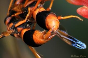 Orange Potter Wasp, (Eumenes latreilli) mating