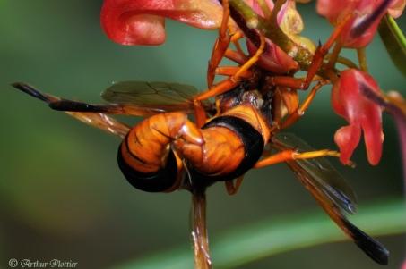 Orange Potter Wasp, (Eumenes latreilli) mating on a grevillea Fire Stripe