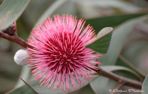 Hakea laurina : Pincushion Plant
