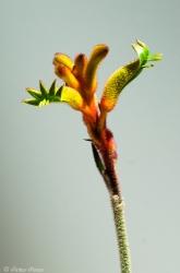 """""""Bush Tenacity"""" Kangaroo Paw (Anigozanthos flavidus hybrid)"""