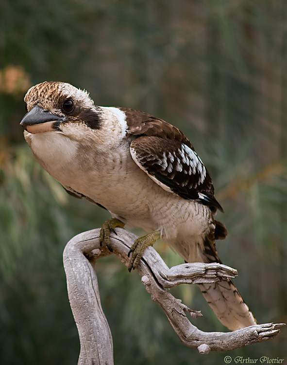 Kookaburra ( Dacelo novaeguineae)